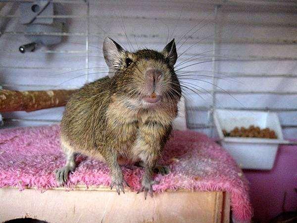 Дегу в клетке, фото содержание грызунов фотография