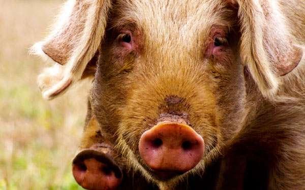 Домашние свиньи, фото фотография картинка