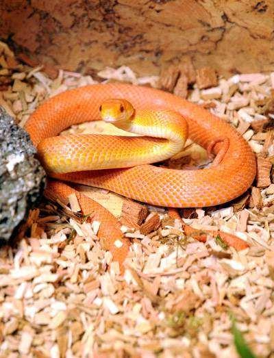 Маисовый полоз (Elaphe guttata), фото изображение змеи картинка