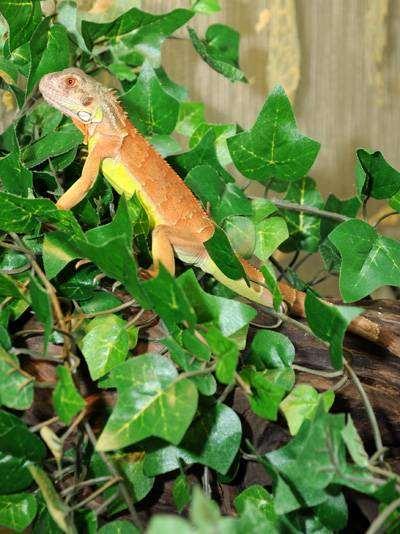 Зеленая игуана красной морфы, фото ящерицы фотография