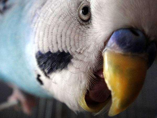 Волнистый попугай, фото птицы фотография