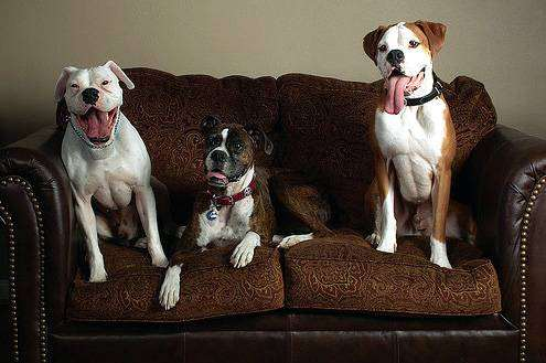 Боксеры, немецкий боксер, фото породы собак фотография