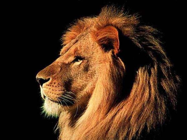 Лев, гомойотермное (теплокровное) животное, млекопитающии, фото хищники фотография