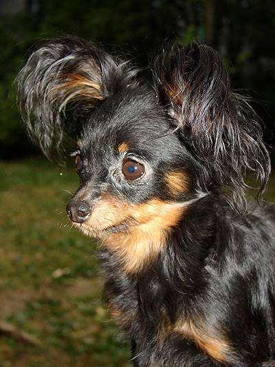 Русский (московский) той-терьер, фото породы собак фотография
