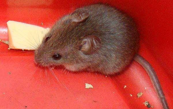 Домовая мышь (Mus musculus), фото грызуны фотография