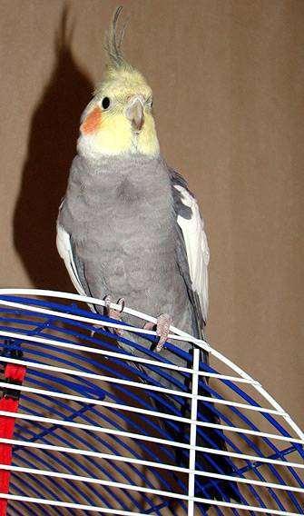 Попугай корелла карелла, фото болезни птиц фотография