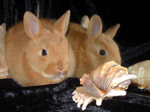 Карликовые кролики, фото фотография