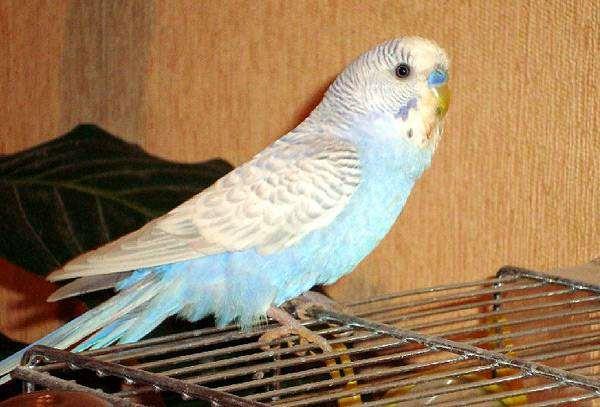 Волнистый попугайчик попугай, фото содержание попугаев фотография