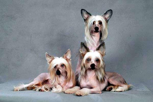 знакомство китайская хохлатая собака