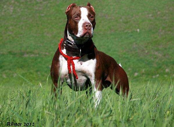 Питбуль, американский питбуль терьер, фото породы собак фотография