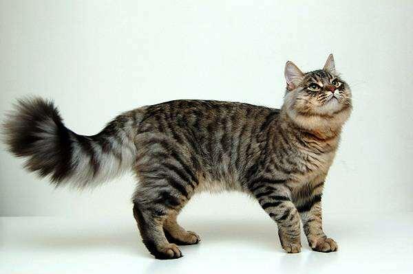 кошки. сибирская порода. фото