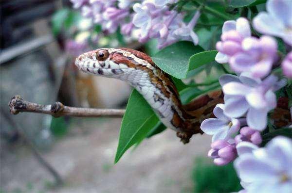 Маисовый полоз (Elaphe guttata), фото рептилии фотографии пресмыкающиеся
