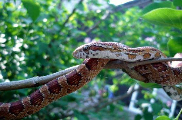 Маисовый полоз (Elaphe guttata), фото рептилии, фотография пресмыкающиеся