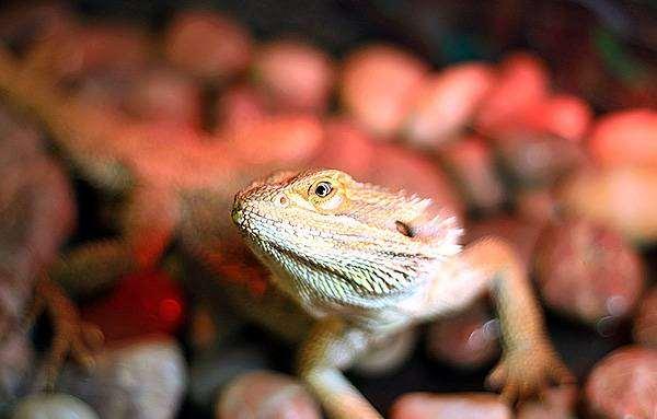 Бородатая агама (Pogona vitticeps), рептилии ящерицы фото агамы фотографии