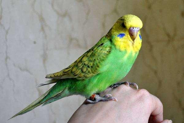 Волнистый попугайчик, чех, фото птицы, фотография попугаи