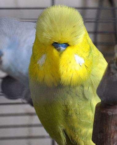 Волнистый попугай (чех), фото волнистики, фотография птицы попугаи