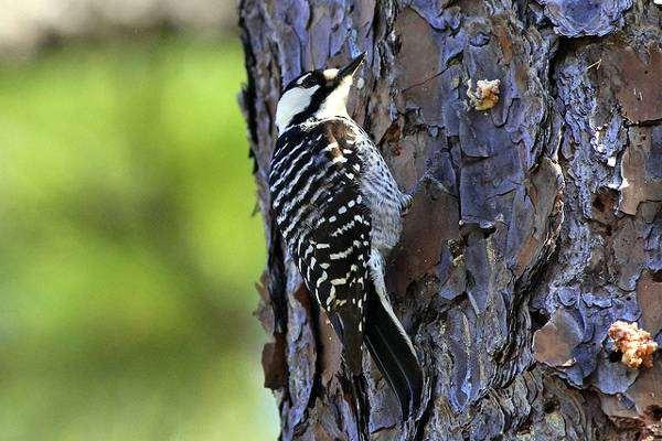 Кокардовый дятел (Picoides borealis), фото новости о животных птицы фотография