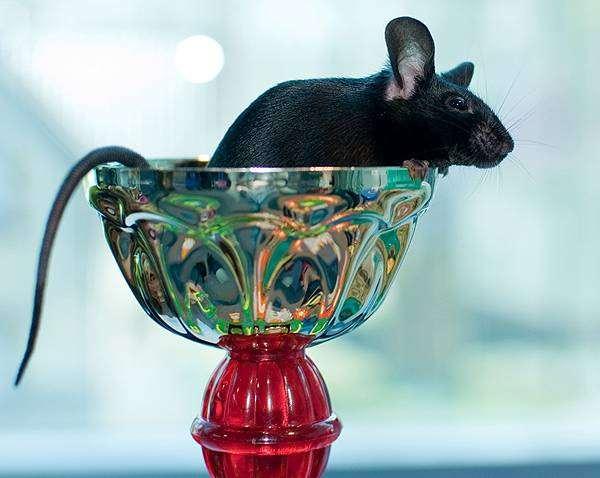 Декоративная черная крыса, фото новости о животных грызуны фотография