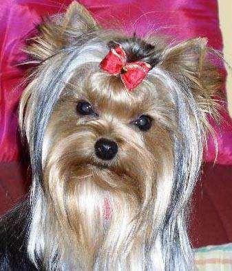 Йоркширский терьер, фото выбор породы собаки