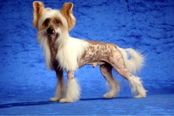 Китайская хохлатая собачка, фото породы собак фотография