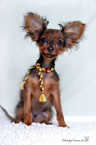 Русский той-терьер щенок, фото породы собак фотография