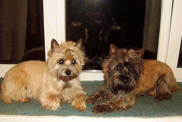 Керн-терьеры, фото породы собак фотография