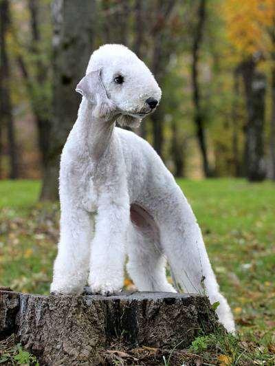 Бедлингтон терьер, фото породы собак фотография