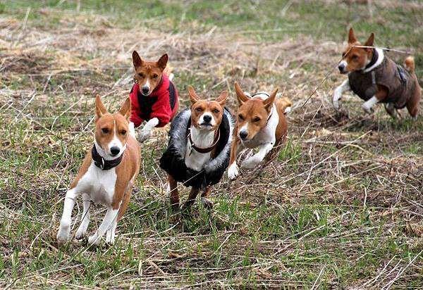 Басенджи, фото породы собак фотография