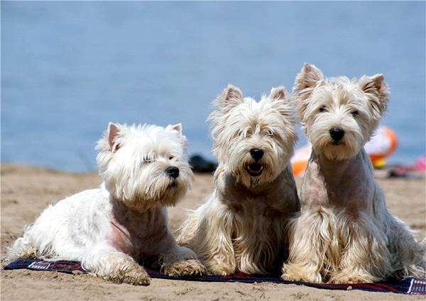 Вест-хайленд-вайт-терьеры, фото породы собак фотография