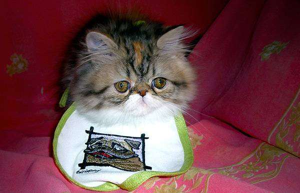 Персидский котенок, фото кормление кошки фотография