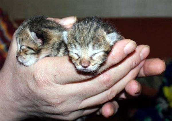 вислоухие котята фото новорожденные