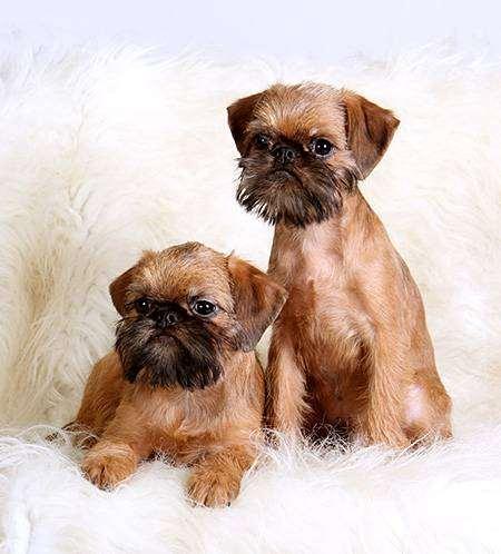 Брюссельский гриффон, фото собак собаки породы собак фотография