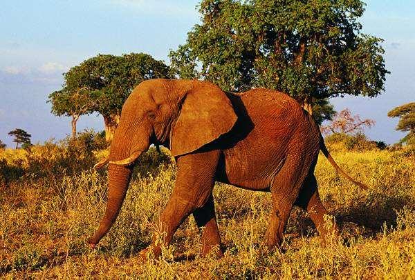 Африканский слон (Loxodonta  africana), фото животные фотография картинка
