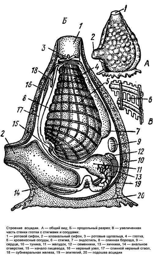 Строение асцидии, черный рисунок картинка изображение