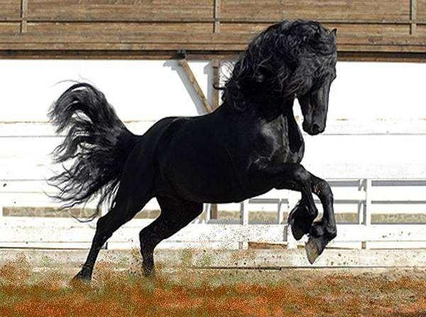 Черная лошадь, фото животные фотография