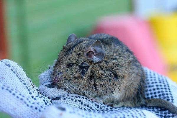 Шиншилловая крыса Беннетта (Abrocoma bennetti), фото грызуны фотография картинка
