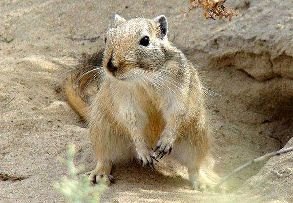 Большая песчанка (Rhombomys opimus), фото грызуны фотографиякартинка