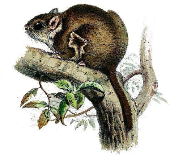 Серебристый шипохвост (Anomalurus beecrofti), рисунок картинка грызуны