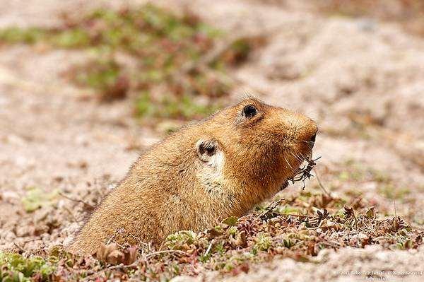 Эфиопская бамбуковая крыса (Tachyoryctes macrocephalus), фото грызуны фотография картинка