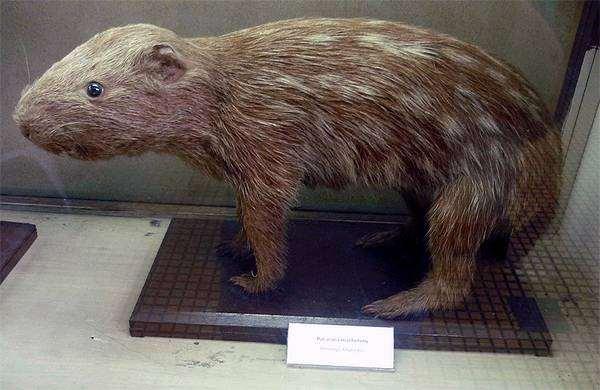 Пакарана (Dinomys branickii), фото грызуны фотография картинка