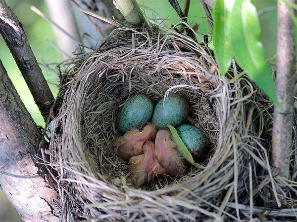 Картинки по запросу воробьиные гнезда