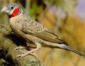 красногорлая амадина, амадина красногорлая (Amadina fasciata), фото, фотография