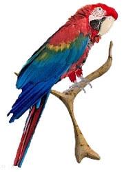 красный красный, ара красно синий, араканга, ара макао, ара Скарлета (Ara macao)