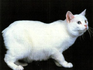 Болезни пород кошек. Мэнкс, манкс, фото фотография, породы кошек кошки.