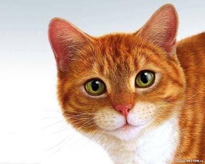 Воспалительные заболевания желудочно-кишечного тракта кошек, Рыжая кошка кот, фото фотография, кошки