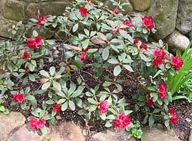 красный рододендрон, фото, фотография