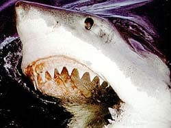 белая акула, фотография, фото, фотка