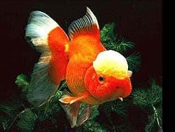 золотая рыбка, фотография, фото, фотка