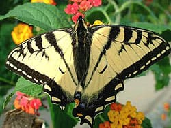 бабочка махаон парусник, фото