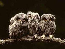 птенцы совы